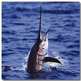 Marlin fishing in cabo san lucas for Marlin fishing cabo